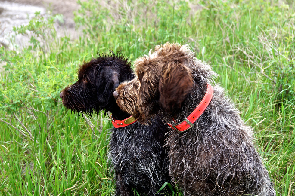 Sage Wirehaired Pointing Griffon