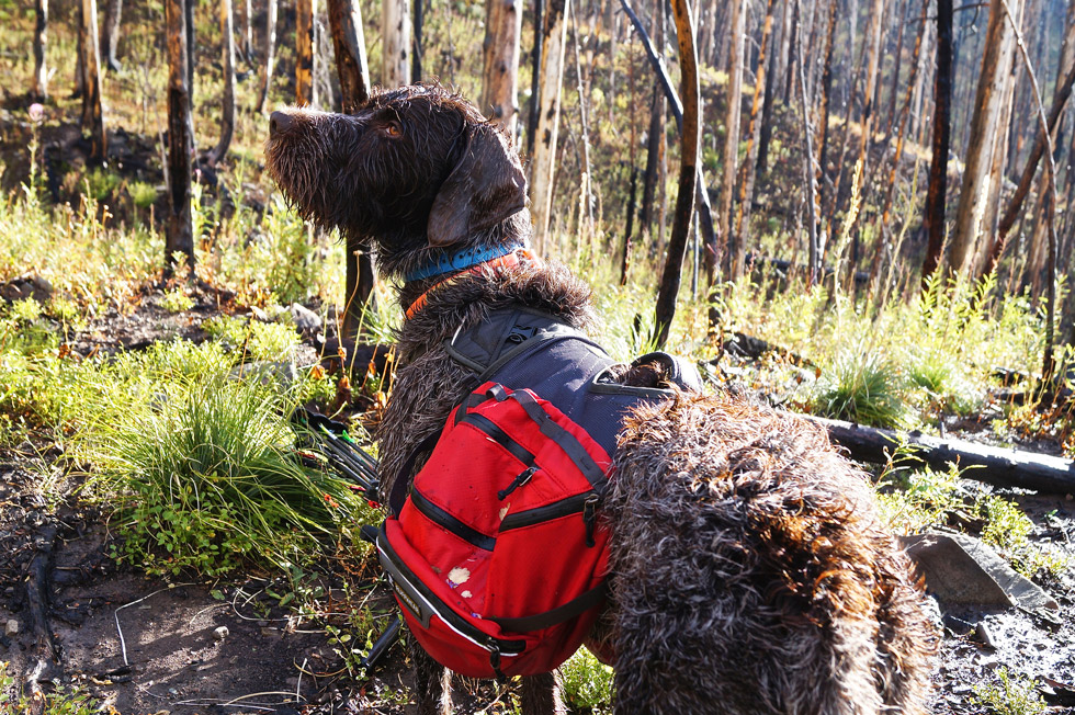 Wirehaired pointing griffon with hunting packs