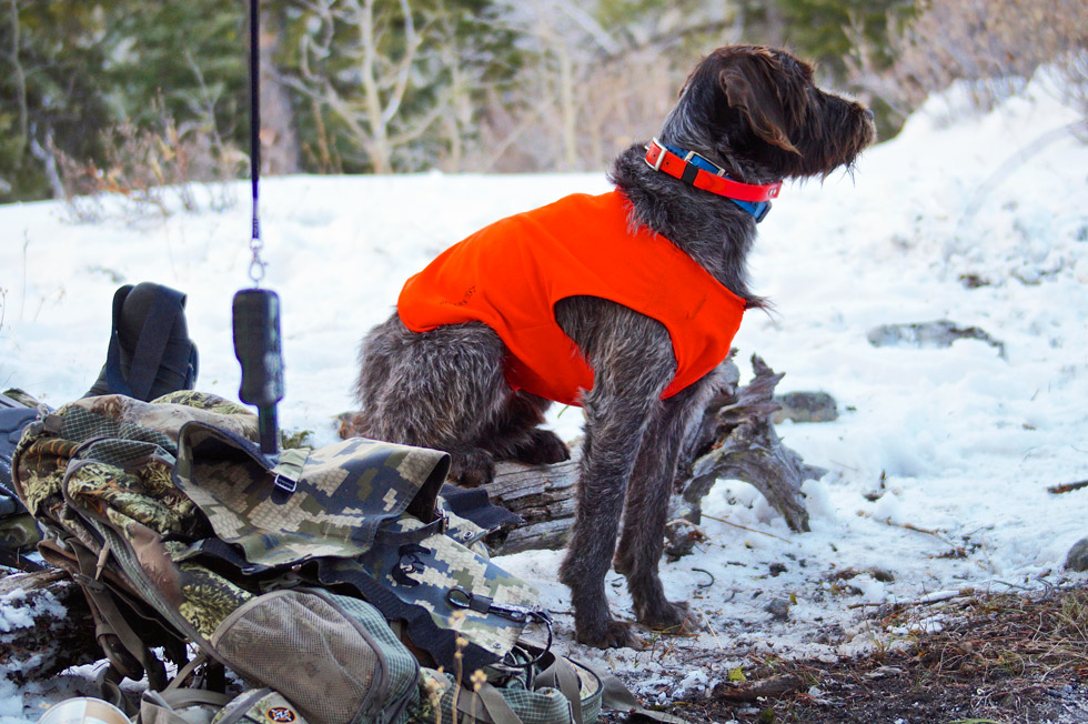 Rocco | Wirehaired Pointing Griffon