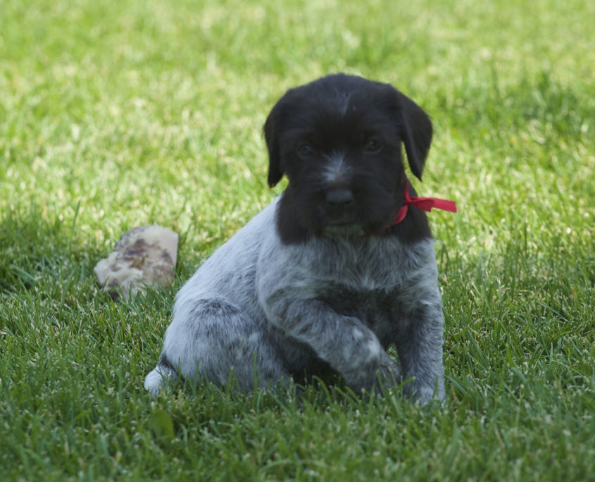 wWirehaired Pointing Griffon Puppy