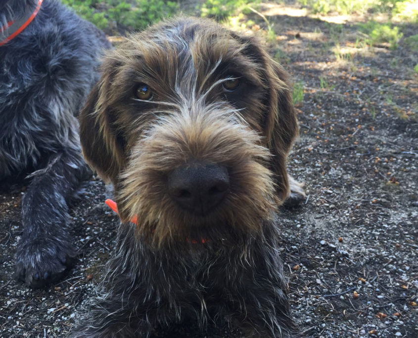 Wirehaired Pointing Griffon: Cassie